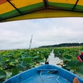 一面の蓮をかき分けながらボートで進む景色は圧巻! #ハスまつり #伊豆沼 #登米 #宮城