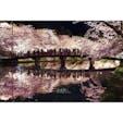 今年の弘前公園桜まつり 春陽橋