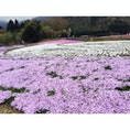 2016.04.23 富士芝桜まつり