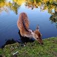 半袖でも汗ばむぐらいに日差しが暑かった先週末の奈良公園で水浴びしてる鹿を発見👀よっぽど気持ちよかったのか、しばらく眺めてましたが池から出る気配はまったくなく、のんきに池の周りの草をはんでました。奈良公園ではときどき水浴びの様子が見られるそうです🦌