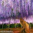 栃木県足利市のあしかがフラワーパーク。アメリカCNNが選出した世界の夢の旅行先10選では日本で唯一のランクイン!昼の藤も美しいですが、ライトアップされた夜の藤は一層幻想的な雰囲気に包まれます。
