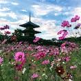 世界遺産の法起寺に建つ日本最古の三重塔と、コスモス。奈良はコスモスや彼岸花や、野の花がきれいなスポットが多いような🌼