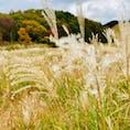 #砥峰高原#すすき#日本の秋#もこもこ#可愛い