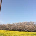 2018.4  赤城南面千本桜。 桜と菜の花のコントラストが綺麗でした。 五分咲きでしたが…