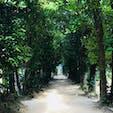 沖縄、フクギ並木