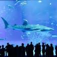 8メートル越えのジンベイザメが雄大の泳ぐ巨大水槽は圧巻でした。