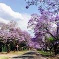 ジャカランダという花の並木道。 紫色がとても鮮やかです! 日本の桜のようです🌸 #南アフリカ #プレトリア  #ジャカランダ