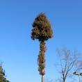 群馬県太田市 #自然#散策#綺麗#植物#木#花#矢印#空