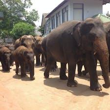 スリランカ。象の孤児院。こんなにたくさんの象、なかなか見れません。子象がちょこちょこしてて可愛いです。