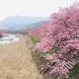 静岡の河津桜。 8部咲きくらいでしたが、とても綺麗。