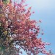 河津桜🌸 #伊豆