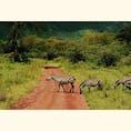 シマウマの横断  タンザニアのセレンゲティ国立公園   #シマウマ #タンザニア #サファリ #セレンゲティ国立公園