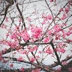 榛名梅林no2 ピンクの梅 可愛い😍 #群馬県#榛名山 #eos9000d #カメラ男子#初心者