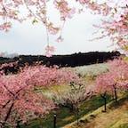 2019.3 箕郷梅林。少し散りはじめの河津桜と満開の白梅のコラボが綺麗でした。