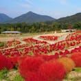 草のかたまり。コキア  香川の、まんのう公園。 色んな花が咲いてるところ  #香川#まんのう公園#コキア